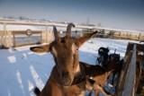 Jak dbać o zwierzęta gospodarskie zimą? Karmienie i pielęgnacja krów, świń oraz koni