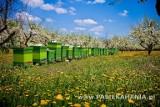 Każda pszczoła wie co ma robić w ulu, czasem się buntują i zabijają królową. O ich życiu mówi Paweł Sulatycki