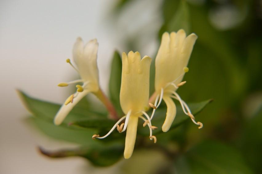 Wiciokrzew japoński jest jedną z najważniejszych roślin leczniczych Tradycyjnej Medycyny Chińskiej, stosowanych m.in. w infekcjach