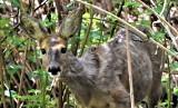W Zielonej Górze sarny zastąpiły dziki? Na to wygląda, bo zielonogórzanie coraz częściej spotkają w mieście właśnie sarny