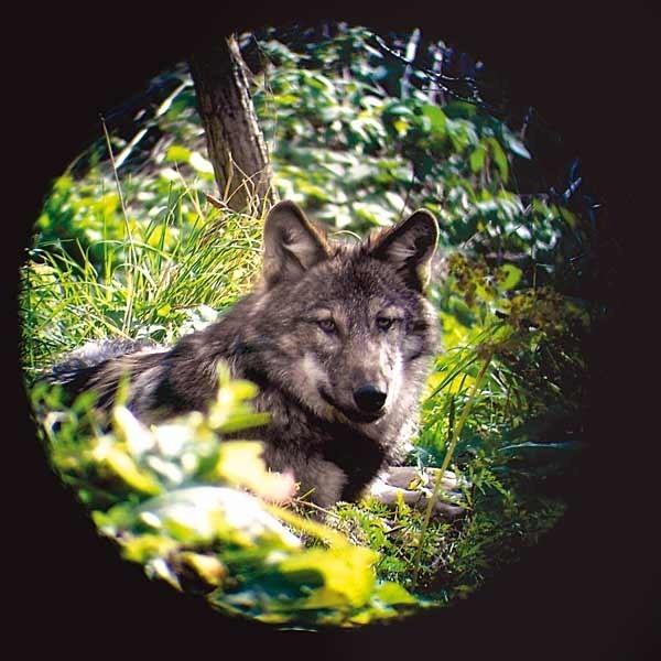 Zdaniem członków Klubu Przyjaciół Dużych Drapieżników wilki należy chronić, bo to nie one są winne ataków na zwierzęta gospodarskie, lecz człowiek.