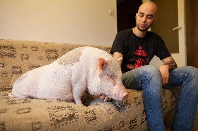 świnka Bożenka Z Bloku Na Bałutach Wychodzi Na Spacer W