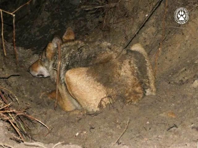 W środę, 2 stycznia, robotnicy leśni zauważyli w Puszczy Rzepińskiej uwięzionego we wnykach wilka. Natychmiast poinformowali Nadleśnictwo Świebodzin. Zwierzę udało się uwolnić.  Przeczytaj też:   Wilki wróciły do lubuskich lasówWilki zaatakowało owce na terenie przywatnej posesji w Mosinie (gm. Witnica). WIDEO: