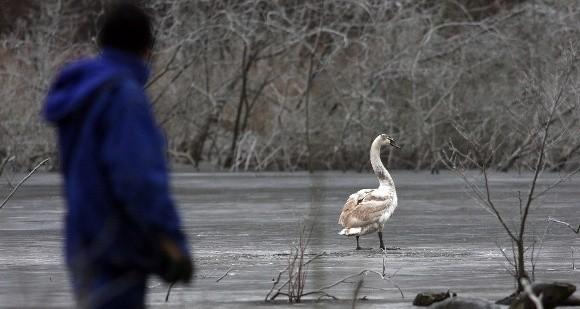 Ratownicy nie dali rady podejść do łabędzie. Lód był zbyt cienki.