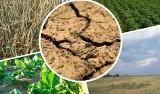 Czwarty rok z rzędu Kujawsko-Pomorskie boryka się z suszą [komisje ds. szkód]