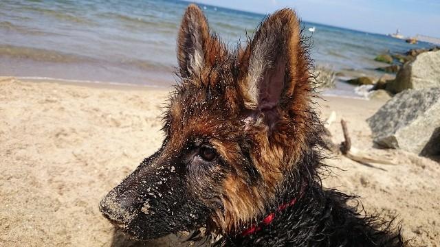 Pamiętaj, że na wiele nadbałtyckich plaż nie wolno wchodzić z czworonogiem. często przy wejściach na plażę widnieją znaki, zakazujące wstępu osobom z psami. Na szczęście, są w Polsce miejsca nad Bałtykiem, gdzie można plażować ze swoim pupilem. Na dalszych planszach informujemy, w jakich miejscowościach można wejść na plażę ze swoim psem, bez obawy o ukaranie grzywną. Zobacz listę plaż nad Bałtykiem, na które można wejść z psem [ADRESY] >>>