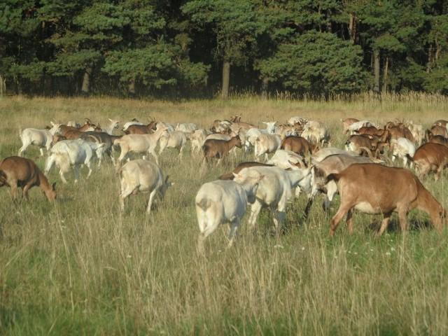 Ekologiczne kozy z gospodarstwa we WłodowicachEkologiczne gospodarstwo. Włodowice