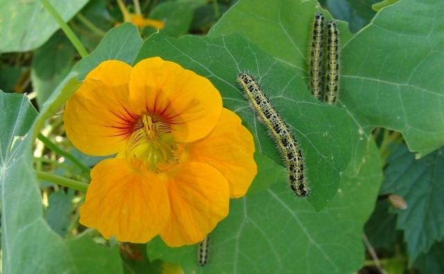 Gąsienice bielinka kapustnika, które wylęgają się latem, chętnie żerują na warzywach kapustnych (a także nasturcjach).
