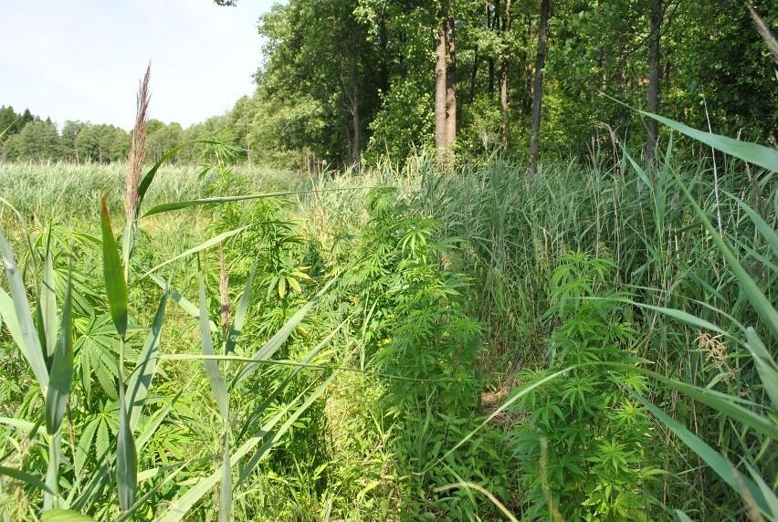 Gmina Nowinka. Plantacja konopi zlikwidowana. Plantator wpadł przy obrywaniu suchych liści (zdjęcia)