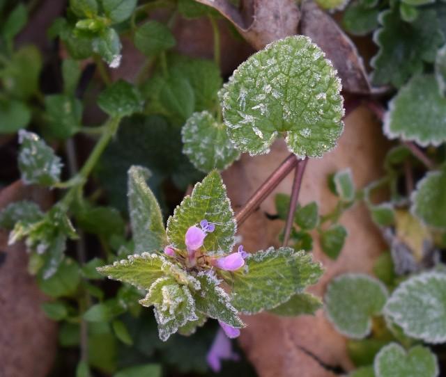 Wiosenne przymrozkiW maju dni są przeważnie ciepłe i słoneczne. Sprawia to, że rośliny rozpoczynają wegetację, tracąc tym samym odporność na niskie temperatury. Tymczasem w połowie maja przychodzi ochłodzenie. Nazywane jest ono najczęściej zimnymi ogrodnikami (św. Pankracy - 12 maja, św. Serwacy - 13 maja i św. Bonifacy - 14 maja) lub zimną Zośką (wspomnienie świętej Zofii obchodzone jest 15 maja).