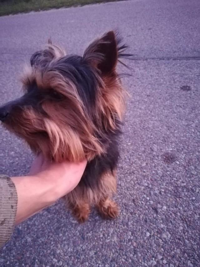 W Starkowie (gm. Trzebielino) przy wyjeździe w stroną Cetynia znaleziono małego psa. Poszukiwany jest jego właściciel. Pies został znaleziony niespełna dwa tygodnie temu.