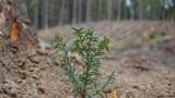 Nadleśnictwo Suwałki wzbogaciło się o gatunek drzewa, który wrócił po wielu latach. To cis pospolity