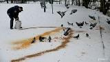 Stary chleb, którym dokarmiasz ptactwo jest dla nich śmiertelnie niebezpieczny. W Gdyni dokarmianiem ptaków zajmuje się Straż Miejska