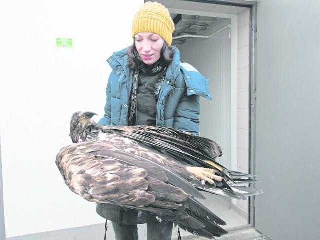 - To młody samiec - mówi Katarzyna Sygit. Bielik nie ma jeszcze jasnych piór na głowie, które pojawiają się po 8-10 latach.
