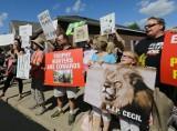 Protest w USA. Sądzić za zabicie lwa jak za morderstwo