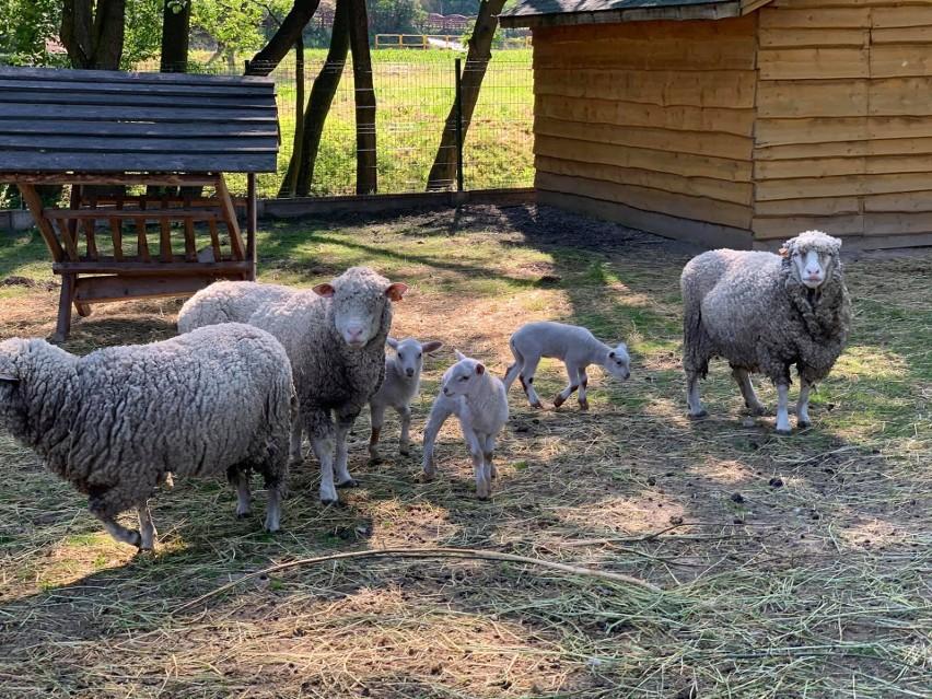 Zwierzyniec Domu Pomocy Społecznej w Zochcinku koło Opatowa otwarty. Można już odwiedzać zwierzęta (WIDEO, ZDJĘCIA)