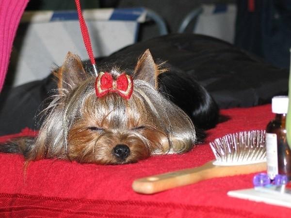 Najładniejsze psy będzie można w sobotę i niedzielę oglądać w Jarosławiu.