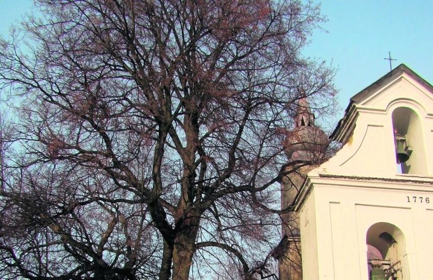 Lipy obok kościoła w Żębocinie