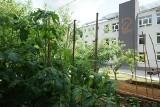 Gdynia: Ogród społeczny na Oksywiu pięknieje! O jego wygląd dbają sami mieszkańcy