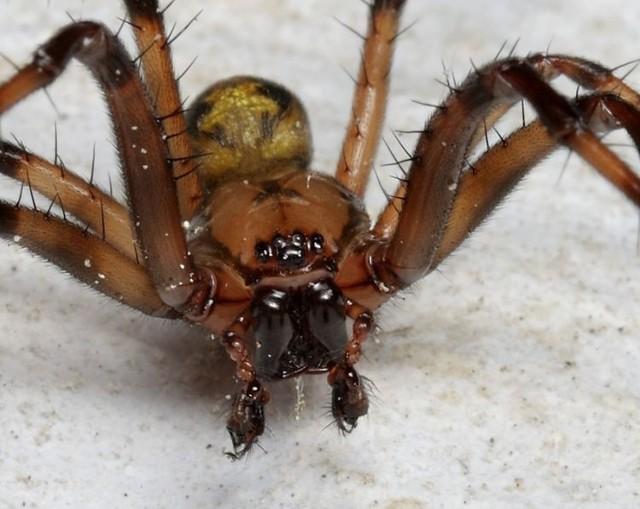 1.Sieciarz jaskiniowyJest uważany za najbardziej jadowitego pająka występującego w naszym kraju Lokalizuje się w studzienkach kanalizacyjnych, jaskiniach, piwnicach, a także u wylotów tuneli kolejowych. Gatunek ten osiąga pokaźne rozmiary – odwłok liczy jedynie 1,5 cm długości, ale wraz z odnóżami jego ciało ma około 5 cm.  Nie tka klasycznej sieci i boi się światła