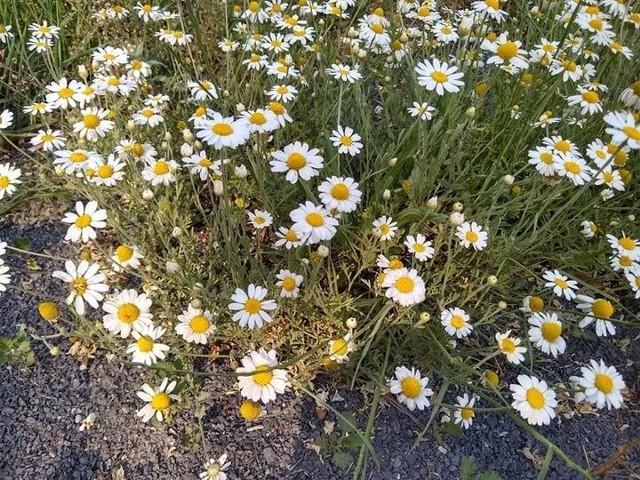 Takie kwiaty możemy spotkać spacerując w okolicy osiedla Leśnego w Zielonej Górze