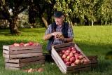 Potrzebni pracownicy na sezon 2021 – czy pandemia COVID-19 pokrzyżuje zbiory jabłek?