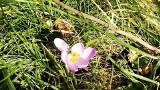 Idą mrozy, ale przyroda wie, czego chce. Wiosny. Jeden słoneczny dzień i już widać - tu  kwiatek, tam listek. Rosną tulipany i żonkile.