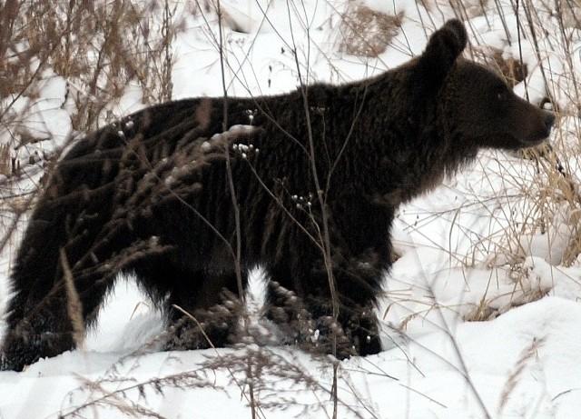 """Na razie młoda niedźwiedzica przebywa w klinice weterynaryjnej """"Ada"""" w Przemyślu."""