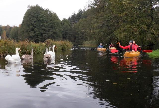 Na szlaku pięciu kaszubskich rzek często spotyka się łabędzie rodziny. Samiec trochę posyczy, ale przepuści kajakarzy...