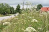 Ponad 3 miliony złotych na walkę z inwazyjnymi roślinami trafi do gminy Kępice. Projektem zostanie objęty teren o powierzchni 70 hektarów