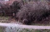 Dziki w Zielonej Górze. Dziki wciąż widać na zielonogórskich ulicach i osiedlach. Są wszędzie! Zobacz zdjęcia Czytelnika