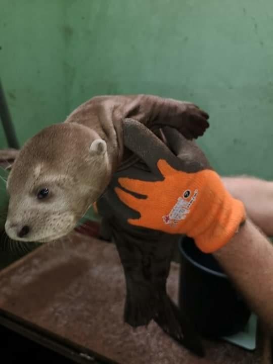 Trzy wydry olbrzymie przyszły na świat w czasie epidemii. Ich imiona to Corona, Birus i Covid