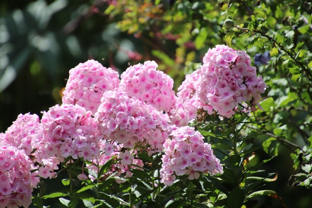 Niektóre byliny, jak floksy, trzeba ściąć przed zimą. Inne można pozostawić na rabatach.