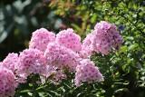 Jesienne przycinanie kwiatów wieloletnich. Które byliny ściąć przed zimą i kiedy to zrobić, a których roślin nie przycinać
