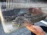 Poznań: W piwnicy na Piątkowie znaleźli półtorametrowego węża [ZDJĘCIA]