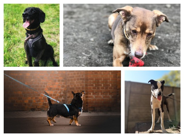 Na adopcję czekają najróżniejsze psy. Każdy z nich to inna historia i inny charakter. Przewiń w prawo i zobacz, czy wśród czekających na adopcję psiaków znajduje się twój nowy przyjaciel.Zobacz psiaki -->