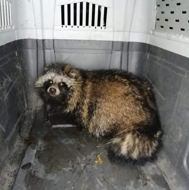 Jenot został uratowany z pułapki i wrócił na wolność