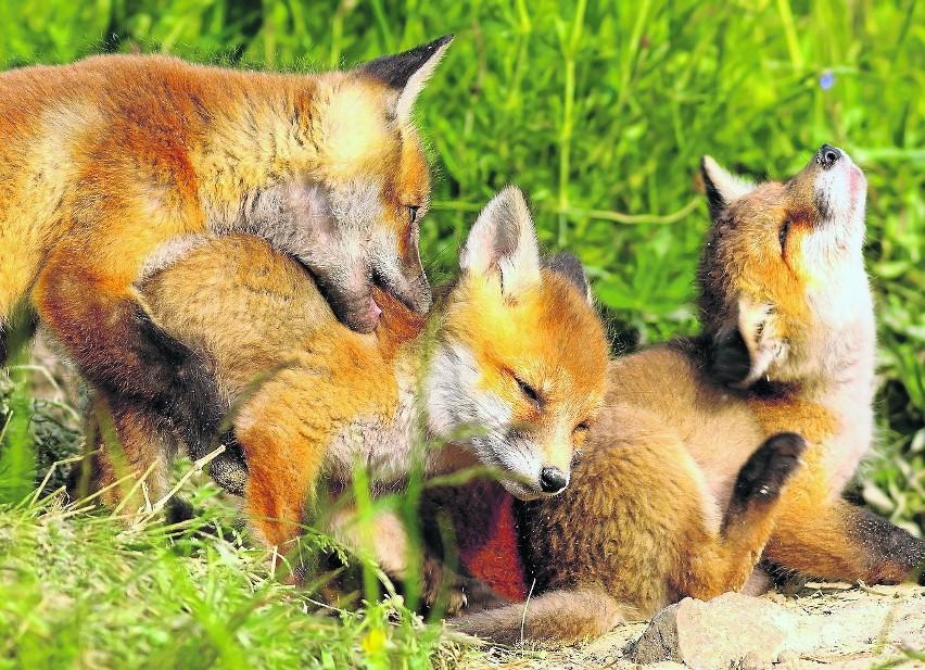 Zimowi rodzice. Wiele gatunków nie czeka z rozmnażaniem na wiosnę