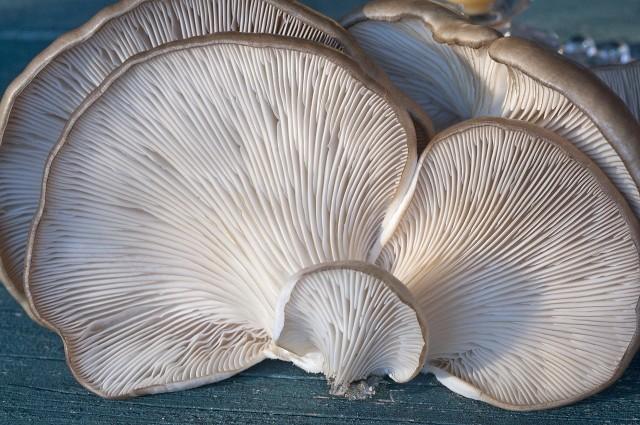 BoczniakiDomowa uprawa grzybów jest prosta i tania. Nie trzeba być posiadaczem ogromnej pieczarkarni, by samemu zająć się uprawą pieczarek czy boczniaków na własne potrzeby.