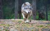 Populacja wilków w Lubuskiem wzrasta. Czy powinniśmy się bać tych drapieżników? Przyrodnicy przekonują, że nie