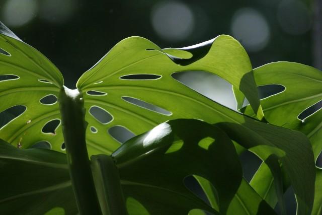 Liście monstery dziurawejMonstera ma charakterystyczne, jakby powcinane i dziurkowane liście. W naturalnych warunkach jest to roślina płożąca. W domowej uprawie monstera dziurawa, by piąć się do góry, potrzebuje silnej podpory. Kliknij zdjęcie i zobacz galerię rośli łatwych w domowej uprawie.