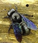 Czarna pszczoła znów w Polsce. Może być groźna? Użądlenie jest bolesne. Nie wolno jej zabijać. Jest bardzo pożyteczna