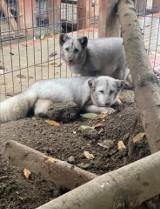 Dwa lisy z likwidowanej fermy lisów pod Pabianicami trafiły do Ośrodka Rehabilitacji Zwierząt Chronionych w Przemyślu [ZDJĘCIA]