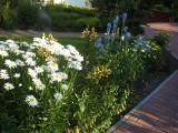 Rośliny na ozdobne rabaty wzdłuż płotów. Poradnik [ZDJĘCIA]