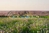Pszczelarzu, masz prawo wiedzieć, kiedy i czym rolnik będzie pryskał pole