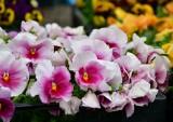 Na targowisku Korej w Radomiu znajdziecie piękne rośliny do ogrodu, na taras lub balkon