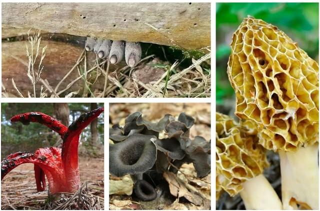 Sezon grzybowy trwa w najlepsze. Na grzybiarzy czekają w polskich lasach koźlaki, podgrzybki czy borowiki. Ale nie tylko. Czasami możecie trafić na grzyby, które mogą zjeżyć włosy na głowie. Zobaczcie galerię najdziwniejszych grzybów polskich lasów. Niektóre naprawdę potrafią wystraszyć!Na następnych zdjęciach kolejne grzyby prosto z horroru. Aby przejść do galerii, przesuń zdjęcie gestem lub naciśnij strzałkę w prawo.