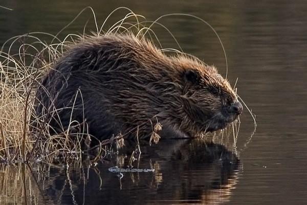 Na Opolszczyźnie gwałtownie powiększa się populacja bobrów.