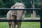 Kraków. W krakowskim zoo słonie też mają prawo do manicure