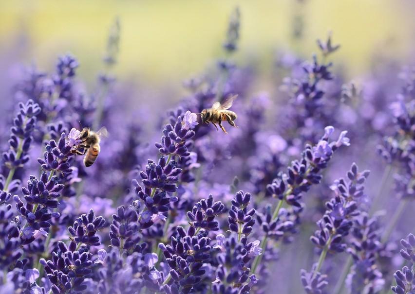 O ile pszczoły i trzmiele nie są groźne dla człowieka, o...